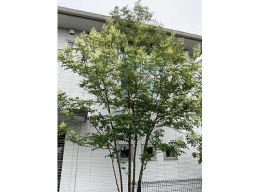 シマトネリコの花サムネイル画像
